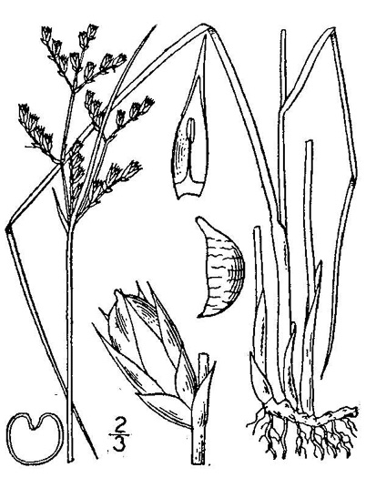 image of Juncus dichotomus, Forked Rush