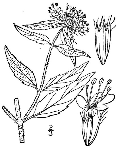 image of Pycnanthemum clinopodioides, basil mountain-mint