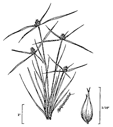 image of Cyperus hortensis, Annual Greenhead Sedge