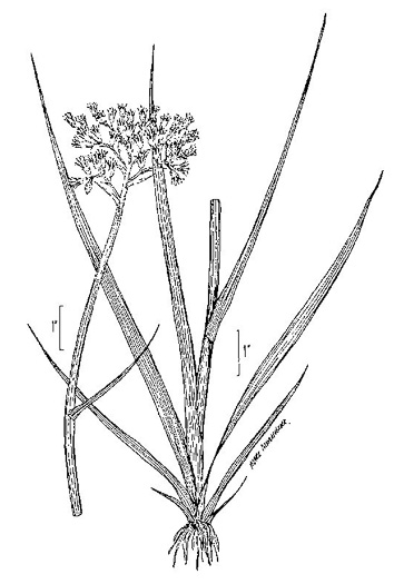 image of Lachnanthes caroliniana, Redroot