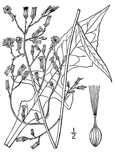 drawing of Lactuca canadensis, American Wild Lettuce, Canada Lettuce