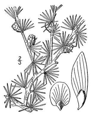 drawing of Larix laricina, Eastern Tamarack, Eastern Larch