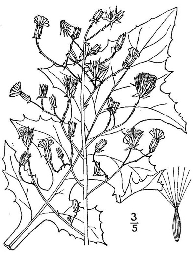 drawing of Lactuca biennis, Tall Blue Lettuce