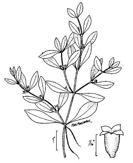 image of Ludwigia palustris, Common Water-purslane, Marsh Purslane, Marsh Seedbox