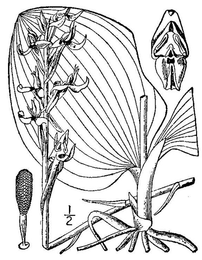 image of Platanthera orbiculata, Large Round-leaved Orchid, Dinner-plate Orchid