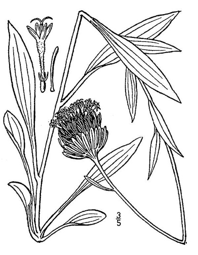 image of Marshallia grandiflora, Appalachian Barbara's-buttons, Large-flowered Barbara's-buttons