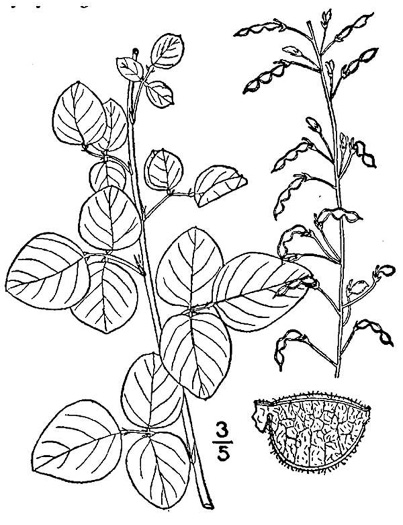 image of Desmodium lineatum, Matted Tick-trefoil
