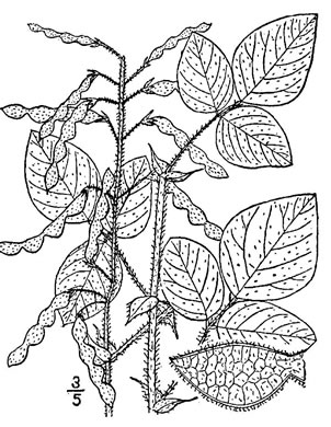 image of Desmodium canescens