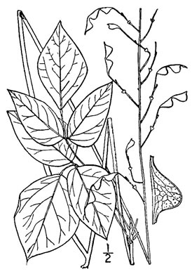 image of Hylodesmum nudiflorum, Naked Tick-trefoil, Naked-flowered Tick Trefoil, Woodland Tick-trefoil