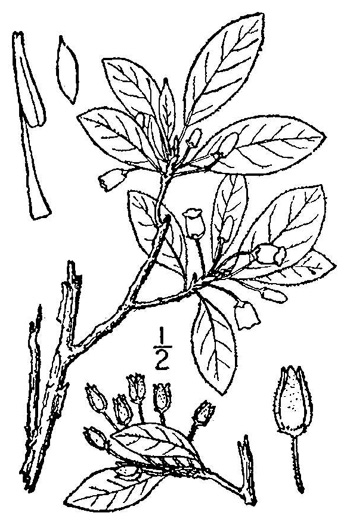 image of Rhododendron pilosum, Minniebush