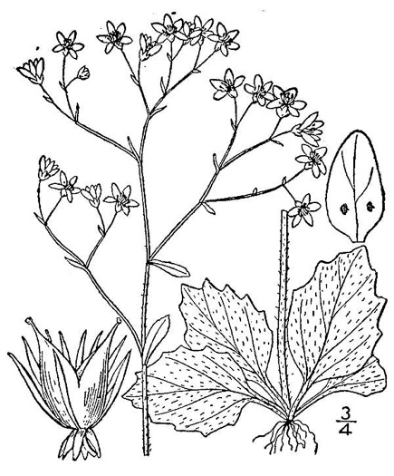 image of Micranthes caroliniana, Carolina Saxifrage