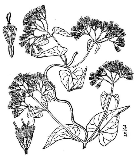 image of Mikania scandens