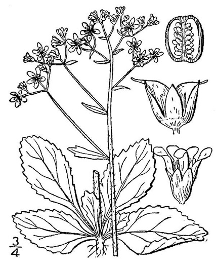 image of Micranthes virginiensis, Early Saxifrage