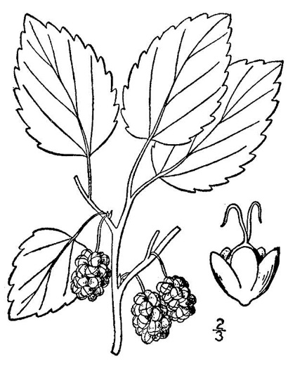 drawing of Morus alba, White Mulberry, Silkworm Mulberry, Russian Mulberry