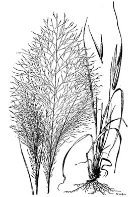 image of Muhlenbergia capillaris, Pink Muhlygrass, Upland Muhly, Hairawn Muhly, Hairgrass