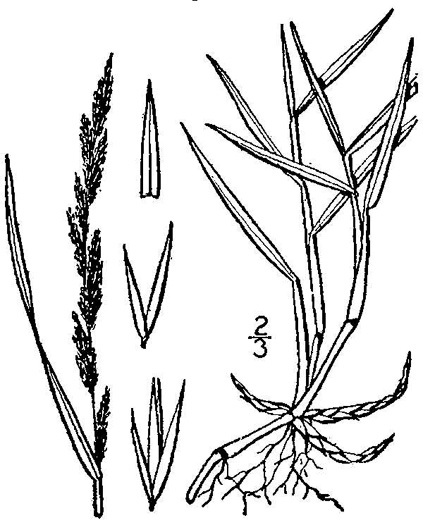 image of Muhlenbergia mexicana