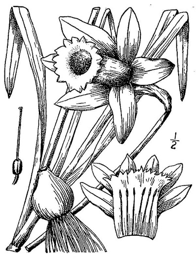 image of Narcissus pseudonarcissus, Daffodil