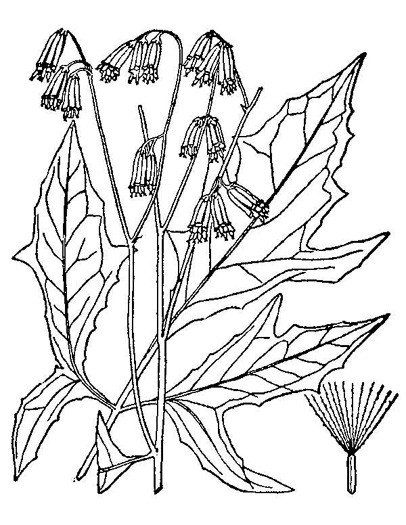 drawing of Nabalus trifoliolatus, Gall-of-the-earth, Three-leaved Rattlesnake-root