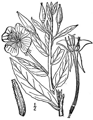 image of Oenothera biennis, Common Evening Primrose