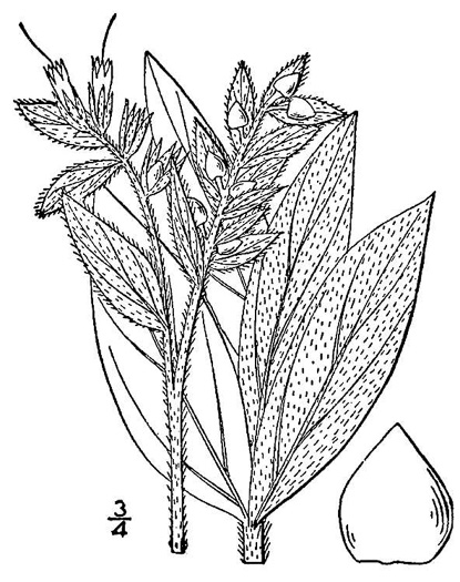 image of Lithospermum occidentale, Western Marbleseed
