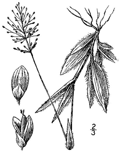 image of Dichanthelium strigosum var. leucoblepharis, Dwarf Witchgrass