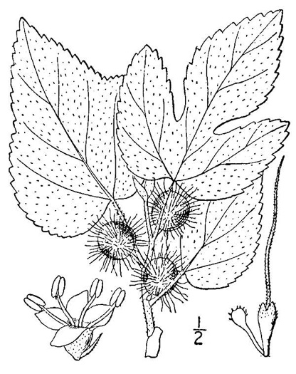 drawing of Broussonetia papyrifera, Paper Mulberry