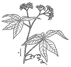 picture of -, image of Parthenocissus inserta