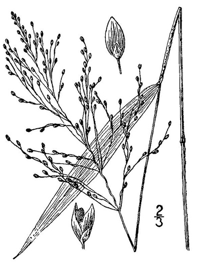 image of Dichanthelium yadkinense, Spotted-sheath Witchgrass
