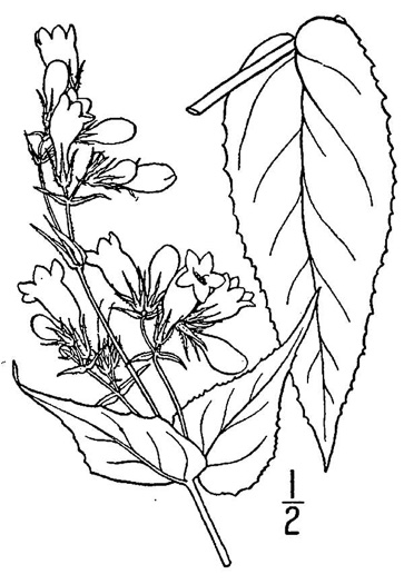 image of Penstemon calycosus, Longsepal Beardtongue