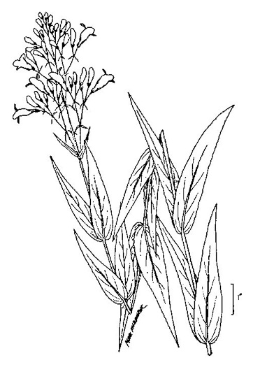 image of Penstemon digitalis