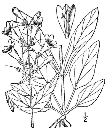 image of Penstemon hirsutus, Northeastern Beardtongue, Hairy Beardtongue