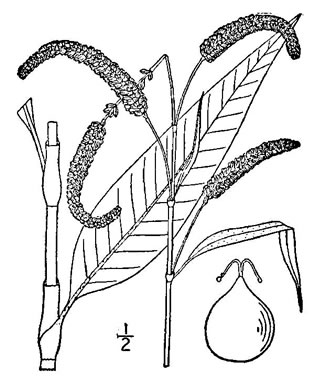 drawing of Persicaria lapathifolia, Dockleaf Smartweed, Willow-weed, Pale Smartweed