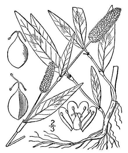 drawing of Persicaria maculosa, Spotted Lady's-thumb, Heart's-ease