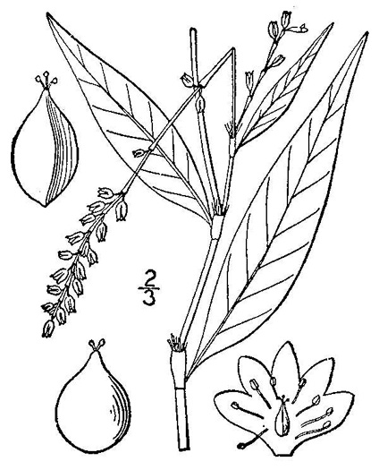 drawing of Persicaria punctata, Dotted Smartweed