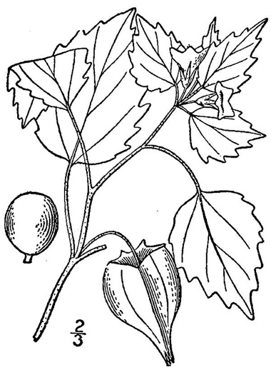 image of Physalis pubescens var. pubescens, Thickleaf Downy Ground-cherry