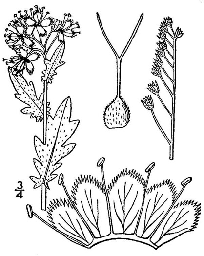 image of Phacelia purshii, Miami-mist