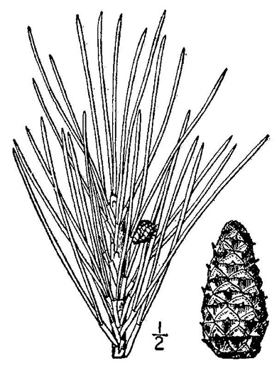 drawing of Pinus echinata, Shortleaf Pine, Yellow Pine, Rosemary Pine