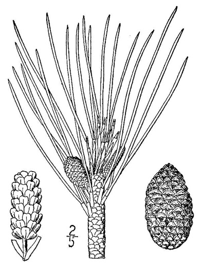 drawing of Pinus resinosa, Red Pine