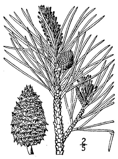 drawing of Pinus rigida, Pitch Pine