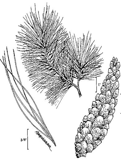 drawing of Pinus strobus, Eastern White Pine