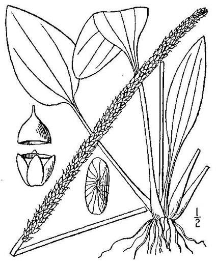 image of Plantago major, Common Plantain, White Man's Foot