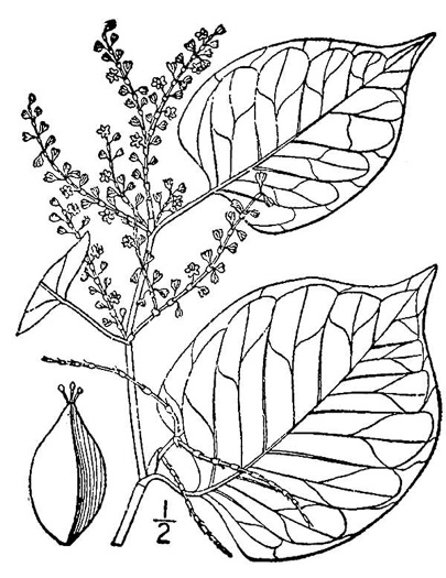 drawing of Reynoutria japonica, Japanese Knotweed