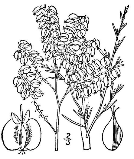 image of Polygonum americanum, Southern Jointweed, Showy Jointweed