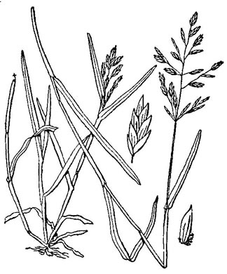 image of Poa annua, Annual Bluegrass, Six-weeks Grass, Speargass