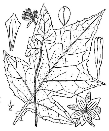 image of Polymnia canadensis, Small-flowered Leafcup, White-flowered Leafcup