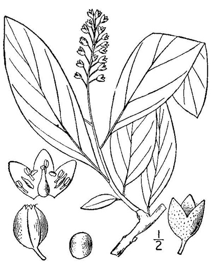 image of Pyrularia pubera, Buffalo-nut, Oil-nut