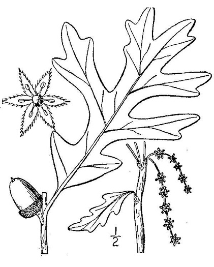 drawing of Quercus alba, White Oak