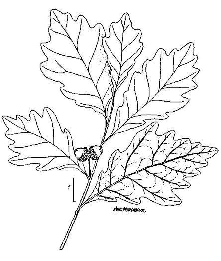 drawing of Quercus bicolor, Swamp White Oak
