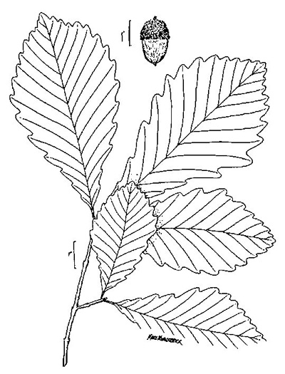 image of Quercus michauxii