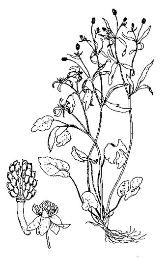 image of Ranunculus abortivus, Kidneyleaf Buttercup, Small-flowered Buttercup, Kidney-leaved Crowfoot, Small-flowered Crowfoot